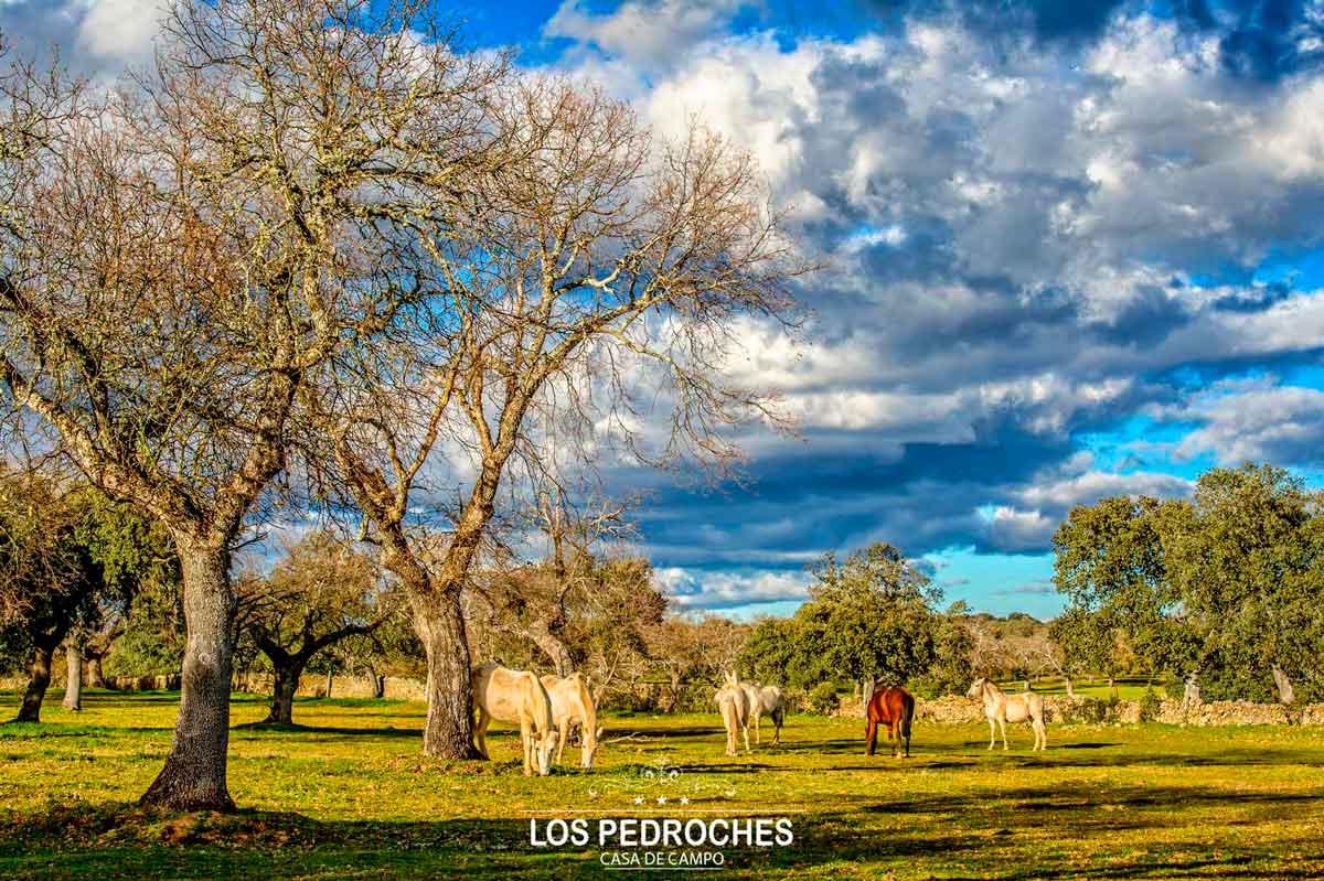 Caballos pastando en la dehesa de los Pedroches