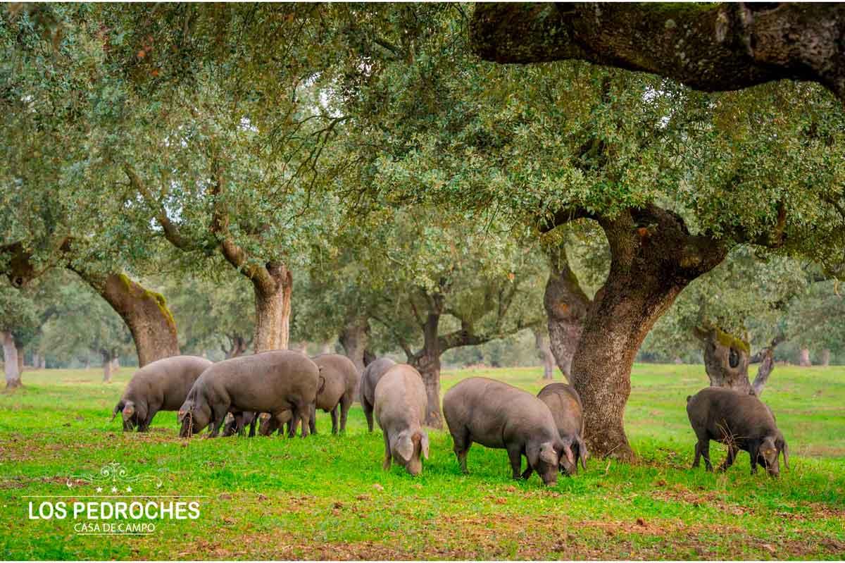 Cerdos ibéricos en la dehesa de los Pedroches