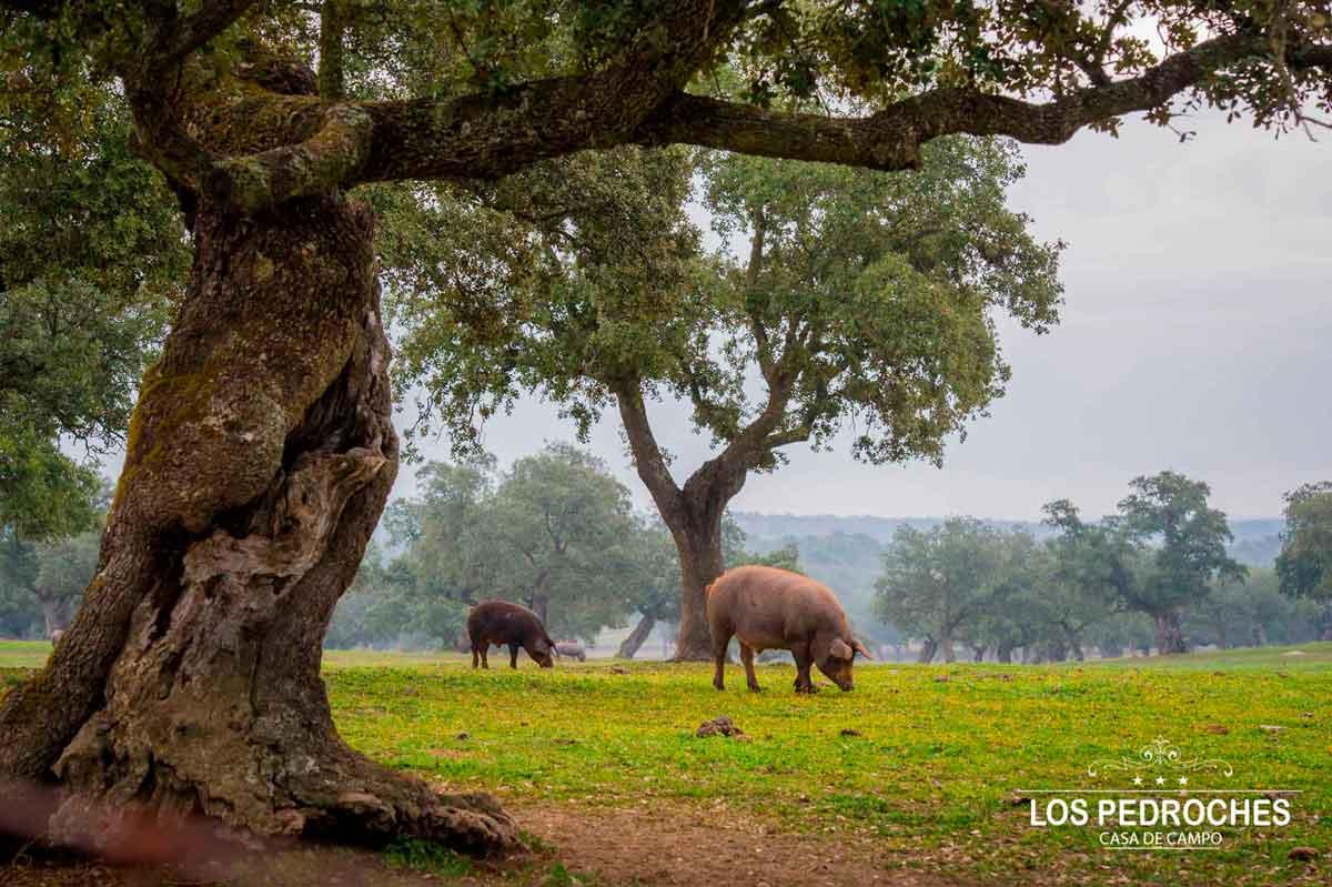 Cerdo ibérico en la dehesa de los Pedroches