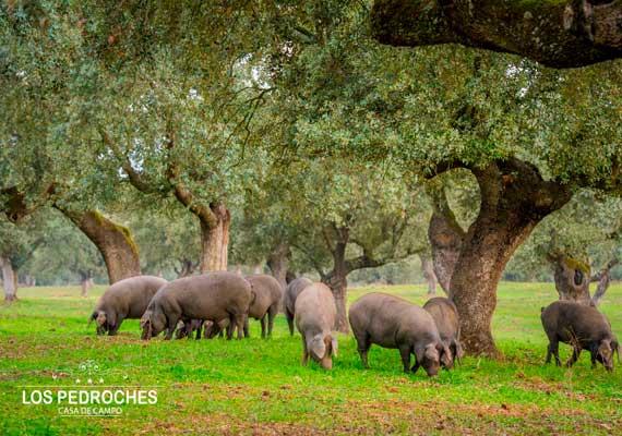 Cerdos en la montanera
