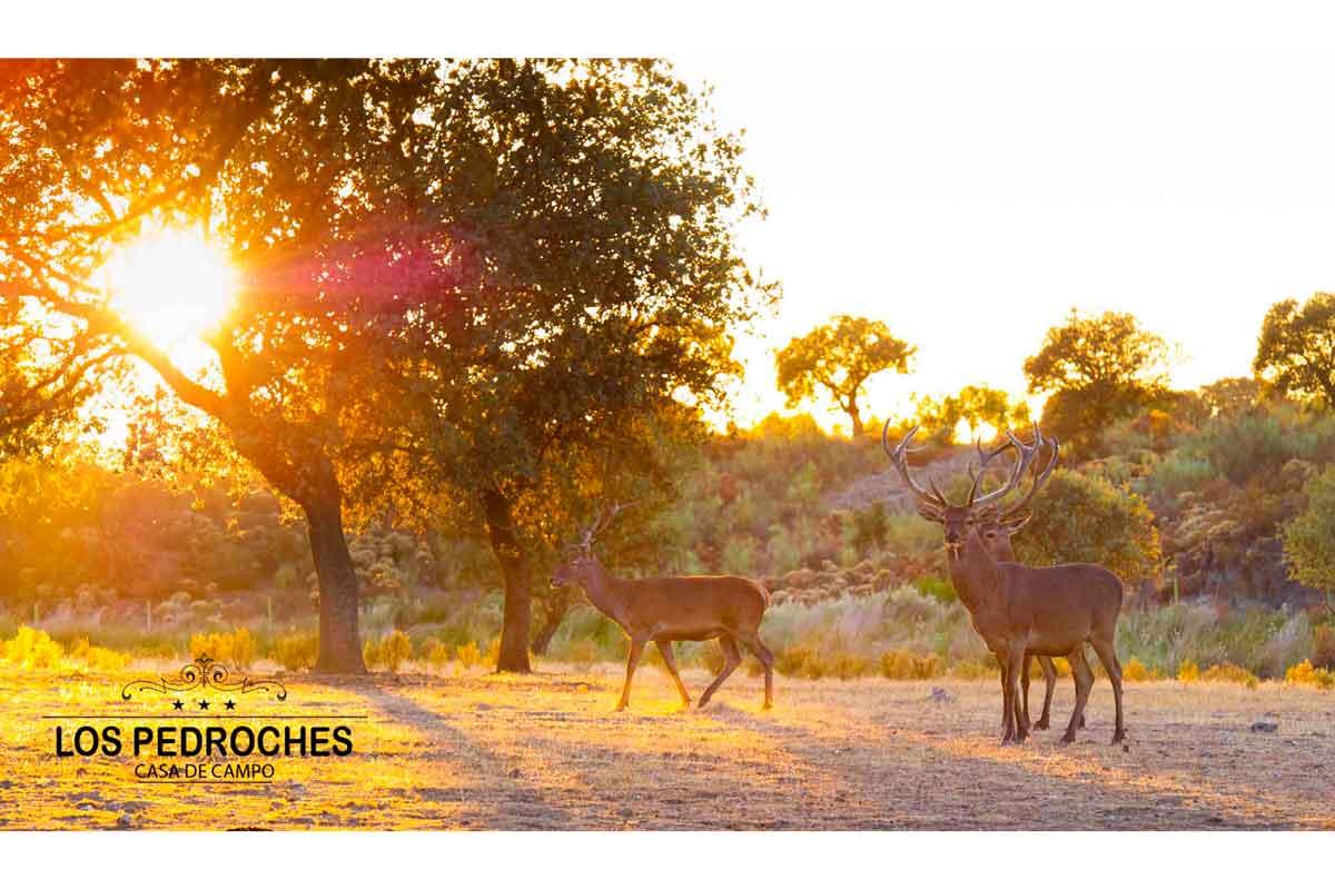 Ciervos al atardecer en la dehesa de los Pedroches