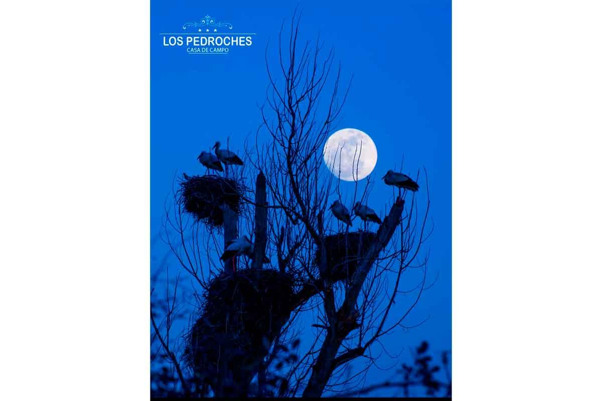 Cigueñas bajo la luna de los Pedroches
