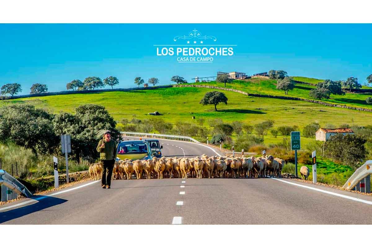 Pastor guiando ovejas en los Pedroches
